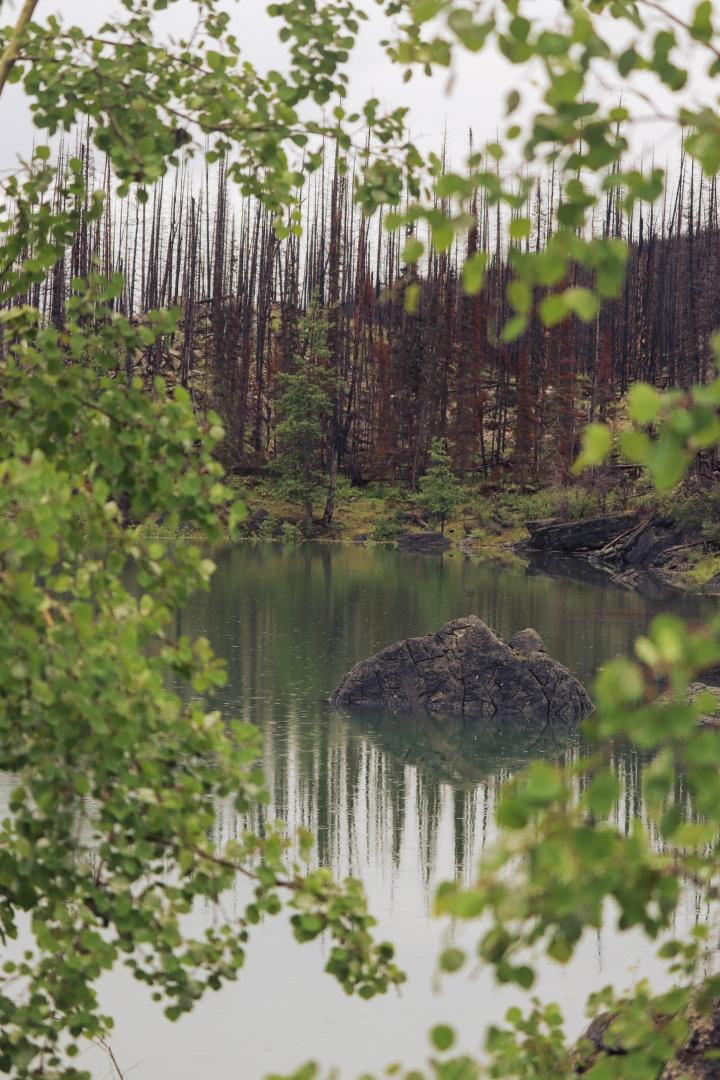 Medicine Lake - Dead Trees